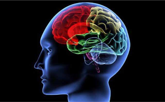 lelang Otak manusia